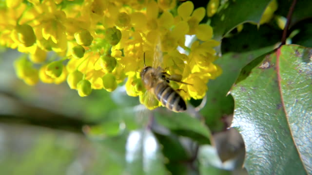 HD Slow-Mo: Bee Inspect a Yellow Blossom video