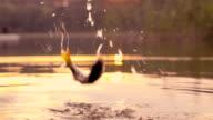 Slow-Mo: Jumping fish video