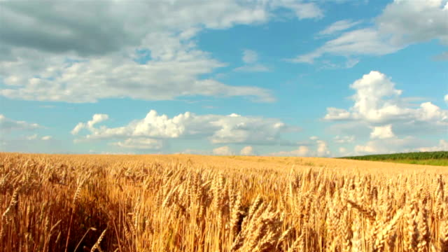 Slow-motion: Crane shot of blue sky, clouds and wheat field video