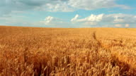 Slow-motion: Crane Shot Of Wheat Field And Sky video