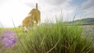 Slow-motion footage: beagle on the walk sniffing dandelions video