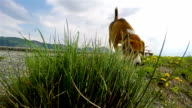 Slow-motion footage: beagle smelling the dandelions while on the walk video