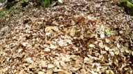 A slow-motion footage of a beagle squirming in the pile of last year's leaves video
