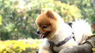 Slow-motion, pomeranian dog cute pets smiley in garden video