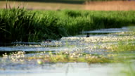 slow-moving river, and ducks floating among reeds. video