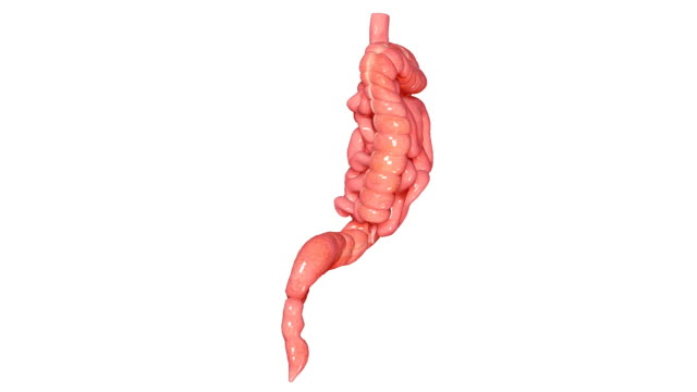 Small and Large intestine video