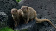 Small Asian Mongoose Family video