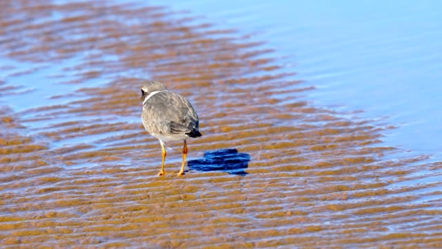 A small bird Charadrius walks along the shallows of the sandy bank of the river. The bird looks for insect larvae and eats them. Sunny autumn day video