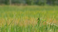 small bird in the rice field video
