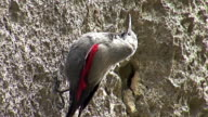 Small bird Wallcreeper walking on the mountain rocks video
