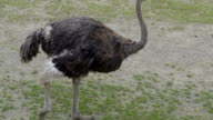 A small black ostrich in the zoo walking video
