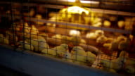 Small chickens in cage video