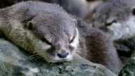 small clawed otter resting on rock video