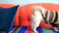 Small cute dog enjoy at home video