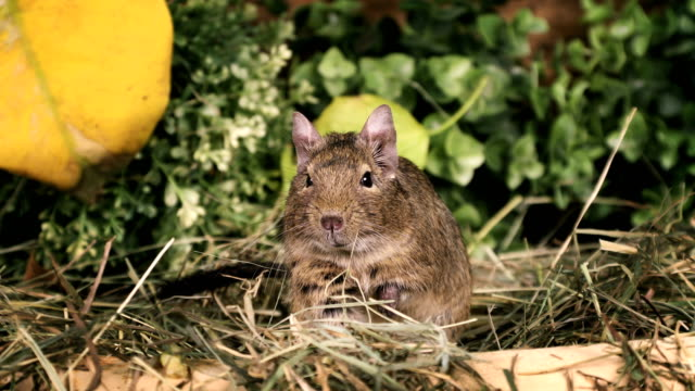 Small degu in the woods video