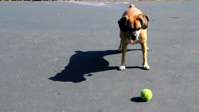 Small Dog Barks at Ball video