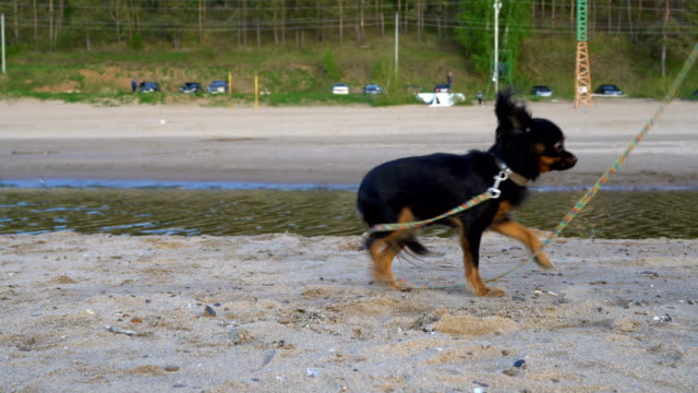 A small dog (a breed of toy terrier) barks at the operator. The dog sits on a sandy beach. Cloudy spring evening. video
