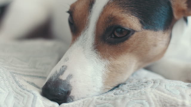 small dog breed the Jack Russell Terrier lays on the bed video