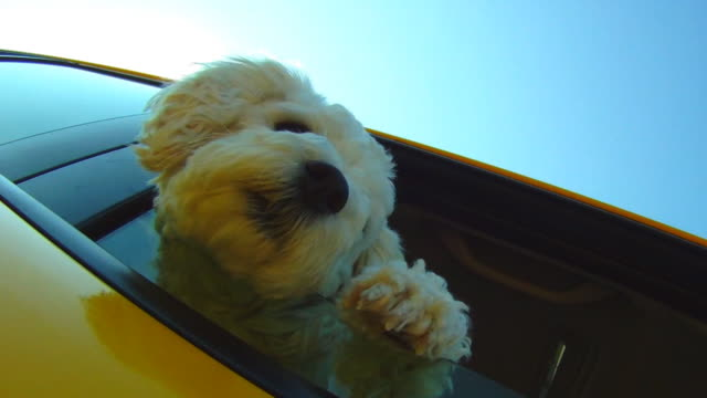 Small dog leaning out car window going down the road video