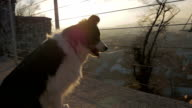 A small dog looks over a fence in sunset slow motion video