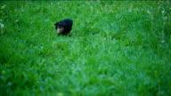 Small Dog Running thru the grass video