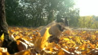 Small dog sits outdoors in september video