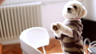 Small dog standing on chair in office and begging for a treat video