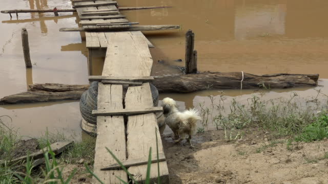 Small dog tries to climb the wooden bridge. video
