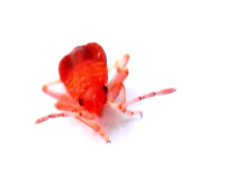 Small Firebug NTSC video