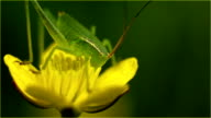 Small grasshopper on a yellow flower video