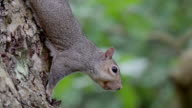 A small gray squirrel on the trunk video