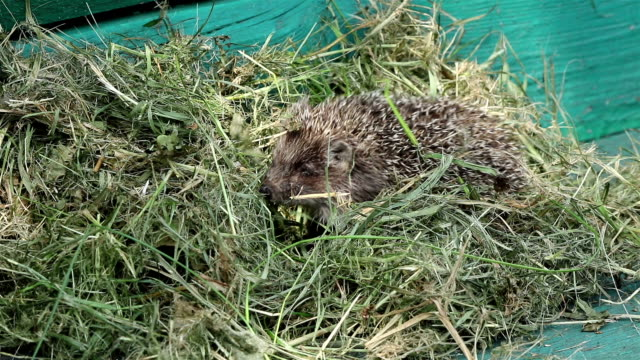 A small hedgehog in hay video