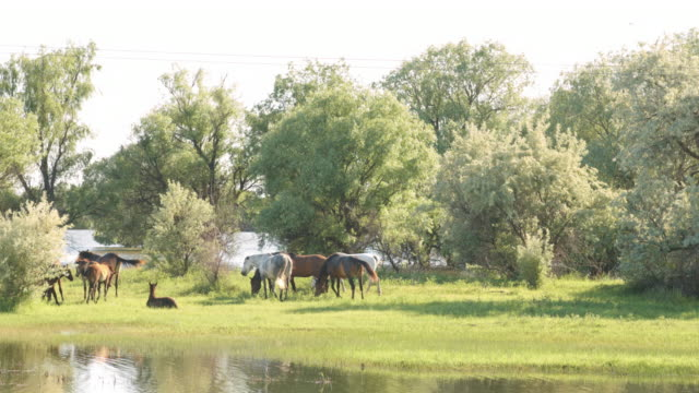 Small herd of horses and foals grazing video