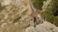 Small Iberian ibex video