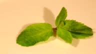A small mint plant closeup video