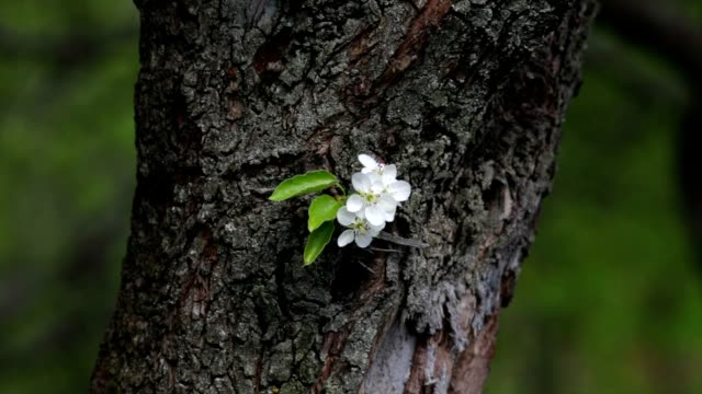 Small pear blossom truss with new green leaves, shaking in the spring light wind, on tree trunk with rough bark. video