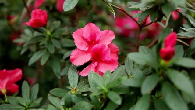 Small Pink Petals of Azalea Flower Among Leaves Closeup video