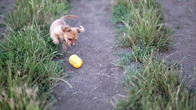 Small puppy chihuahua for the first time on a walk and playing in nature on the field video