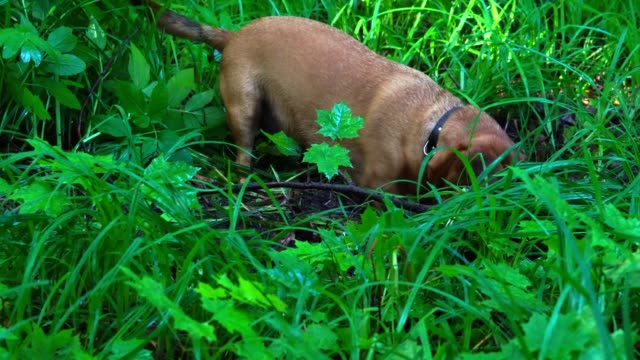A small red-haired dog (the Dachshund breed) quickly digs up the earth in the forest. The dog had a hunting instinct. She digs a hole to get to the prey. The earth and grass are wet after rain. A summer sunny morning in the forest. video