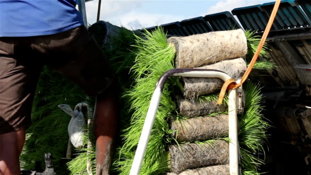 Small rice seedlings for planting on farmer rice farm already prepared. video