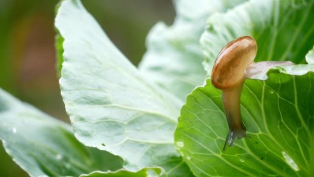 Small snail crawling on cabbage leaf in raining. video