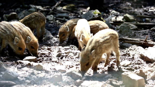 Small striped wild pigs piglet on the futters search. video