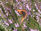 Small tortoiseshell butterfly video