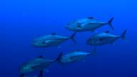 Small Tuna Shoal closeup video