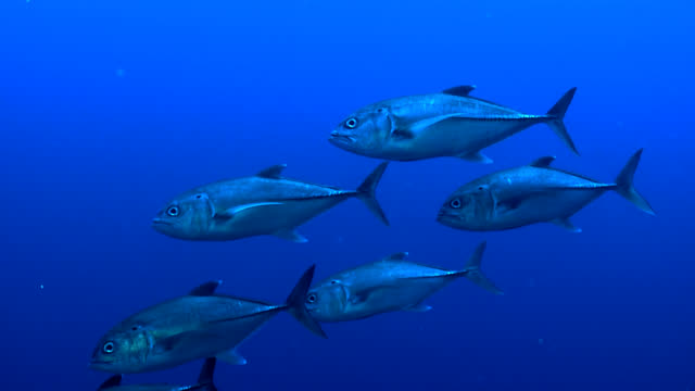 Small Tuna Shoal closeup video