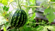 Small watermelon in hothouse video