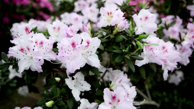 Small White Flowers Azaleas Gently Swaying in Wind Close up video