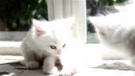 Small white kitten washes video