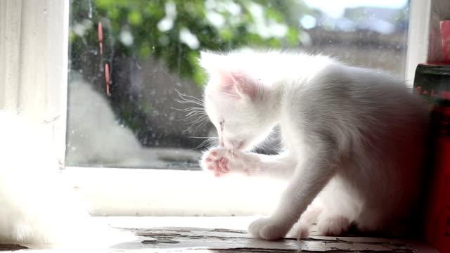 Small white kitten washes video