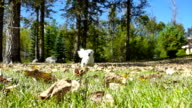 Small white puppy running through autumn leaves in slow motion video